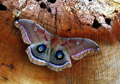 Photograph - Polyphemus Moth by Deborah Johnson