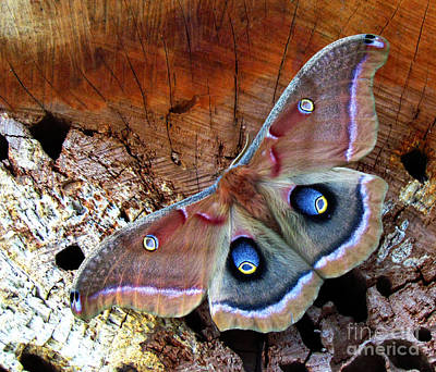 Photograph - Polyphemus Moth Ll by Deborah Johnson