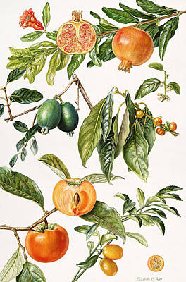 Persimmon Painting - Pomegranate And Other Fruit by Elizabeth Rice