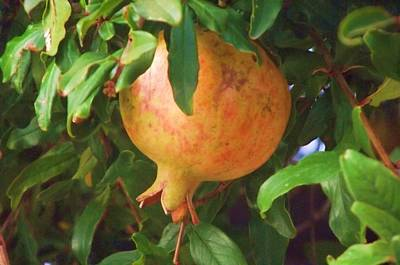 Photograph - Pomegranate by Jayne Kerr
