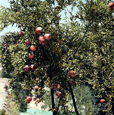 Pomegranate Tree Art Print by Granger