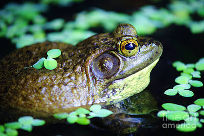 Gold Pattern - Pond Frog by Randy Harris