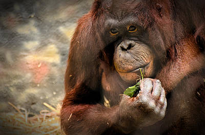 Orangutan Photograph - Pondering by Mark Papke