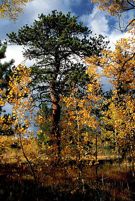 Photograph - Ponderosa Pine Among Small Aspens by John Brink
