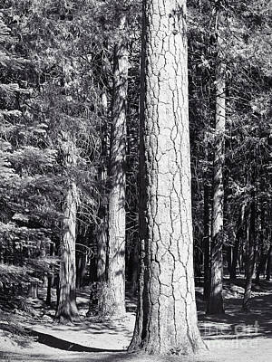 Photograph - Ponderosa Pine - Yosemite by John Waclo