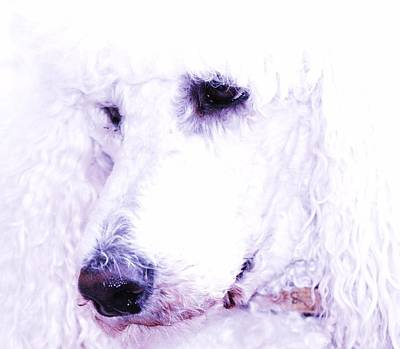 Poodle Face Art Print by Lisa  DiFruscio