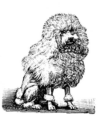 Poodle Art Print by Granger