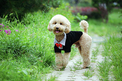 Panting Photograph - Poodle Wearing Suit by Photography by Bobi