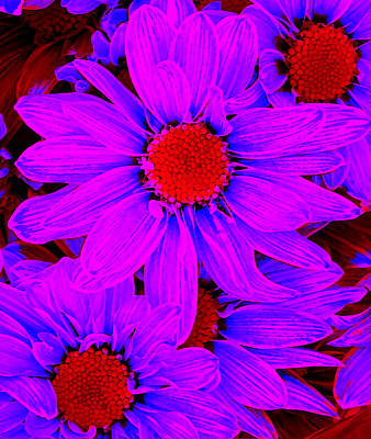 Blue Flower Digital Art - Pop Art Daisies 12 by Amy Vangsgard