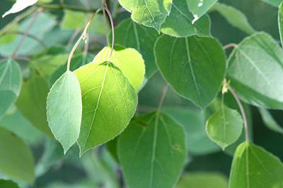 Photograph - Poplar Leaves by Mark J Seefeldt