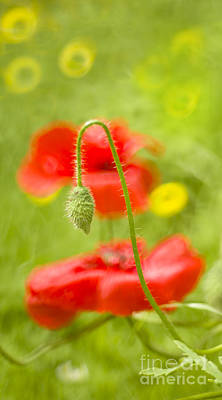 Red Gladiolus Photograph - Poppies by Angel  Tarantella