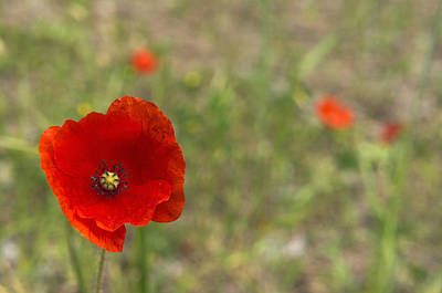 Close Focus Nature Scene Photograph - Poppies At Spring (close-up) by Sami Sarkis