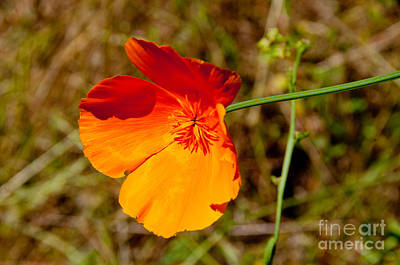 Digital Art - Poppies by Carol Ailles