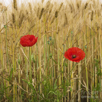 Poppies  In A Field Of Barley Art Print by Bernard Jaubert
