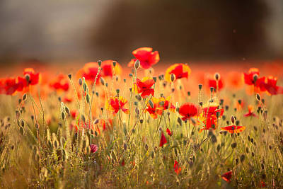 Y120817 Photograph - Poppies In Dorset by Olivia Bell Photography