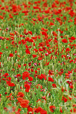 Natural Background Photograph - Poppies In Rye by Elena Elisseeva