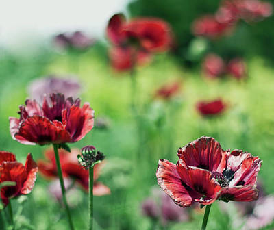 Poppies Art Print by Olga Tremblay