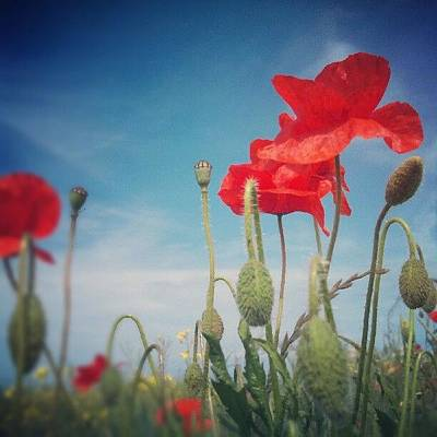 Florals Photograph - Poppies by Vicki Field