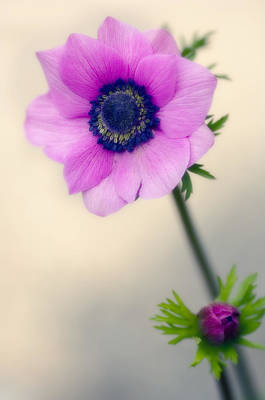 One Single Pink Poppy Flower Photograph - Poppy Anemone (anemone Coronaria) by Maria Mosolova
