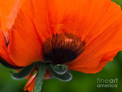Photograph - Poppy Close-up by Lutz Baar