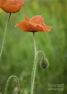 Photograph - Poppy by David Waldrop