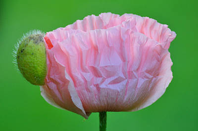 Art Print featuring the photograph Poppy Emerges by Ronda Broatch