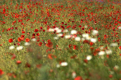Photograph - Poppy Field Vi by Emanuel Tanjala