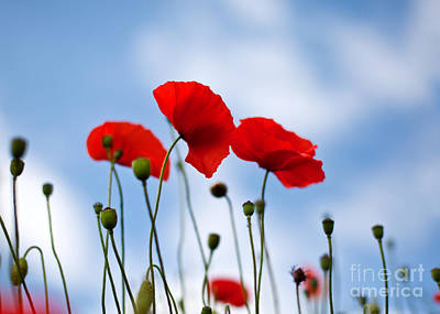 Wall Art - Photograph - Poppy Flowers 08 by Nailia Schwarz