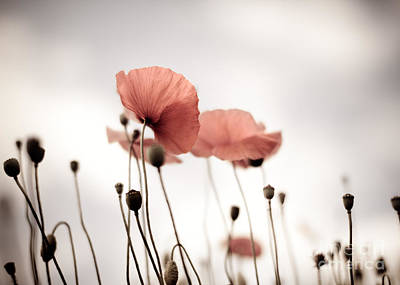 Poppy Flowers 16 Art Print by Nailia Schwarz