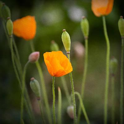 Poppy Flowers Art Print by Ian Barber