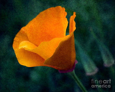Photograph - Poppy Glowing by Bobbi Feasel