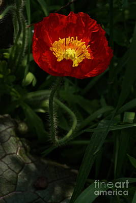 Photograph - Poppy In Crimson And Gold by Byron Varvarigos