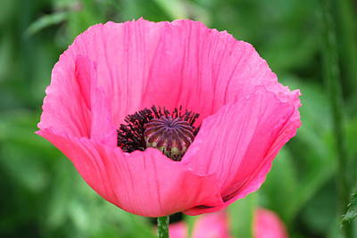 Art Print featuring the photograph Poppy by Kathy Gibbons