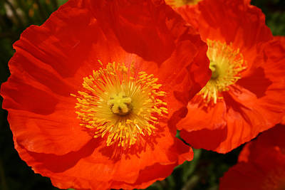 Photograph - Poppy Montreux Switzerland by Benjamin Dahl