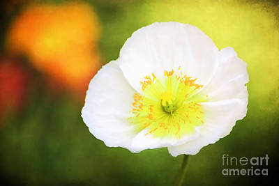 Garden Petal Image Photograph - Poppy Of Peace by Darren Fisher