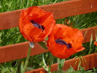 Photograph - Poppy Pair by Ed Lukas