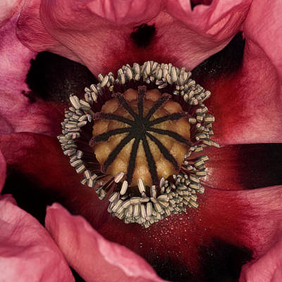 Poppy (papaver Sp.) Print by Lawrence Lawry
