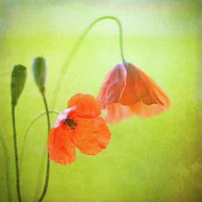 Colored Background Photograph - Poppy by Peter Chadwick LRPS
