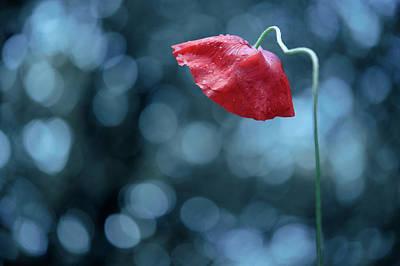 Poppy With Dew Drops Art Print