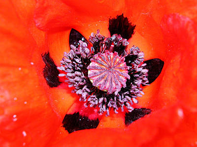 Photograph - Poppy's Heart by Mariella Wassing