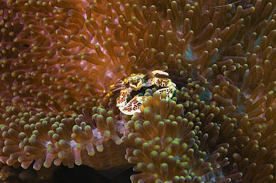 Porcelain Crab In Sea Anemones, North Sulawesi, Sulawesi, Indonesia Art Print by Glowimages