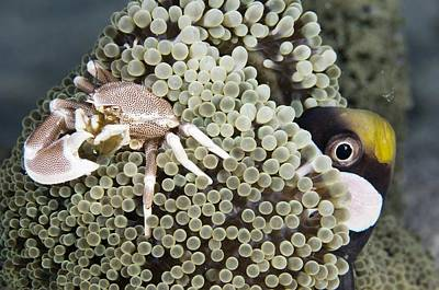 Porcelain Crabs Photograph - Porcelain Crab by Matthew Oldfield