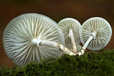 Porcelain Mushroom (oudemansiella Mucida) Art Print by Colin Varndell