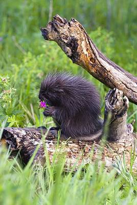Billiard Balls - Porcupine Baby Eating Flower by John Pitcher