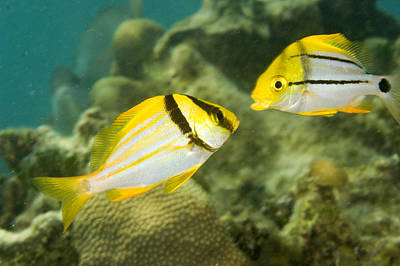 Porkfish In Adult Left And Juvenile Art Print by Tim Laman