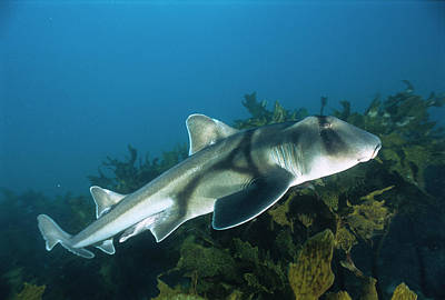 Jervis Photograph - Port Jackson Shark Heterodontus by Mike Parry