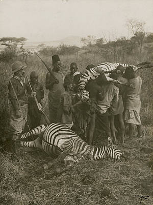 Black And White Of Zebras Photograph - Porters Carry Off A Kill Of Two Zebras by Underwood And Underwood