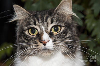 Photograph - Portrait Of A Cat With Two Toned Eyes by Jeannette Hunt