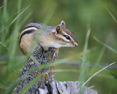 Art Print featuring the photograph Portrait Of A Chipmunk by Penny Meyers