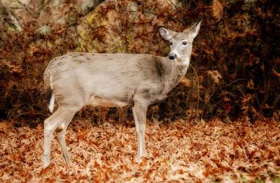 Portrait Of A Deer Art Print by Kathy Jennings